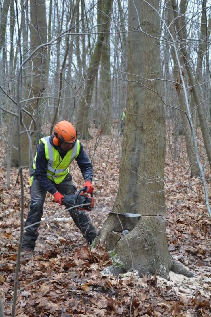 Zagen van de velsnede tijdens het veilig omzagen van een boom